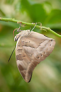 One-spotted prepona Butterfly, Archaeoprepona demophon, Central America, Nymphalidae , hanging on leaf