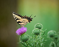 Eastern Tiger Swallowtail butterfly. Image taken with a Leica SL2 camera and 90-280 mm lens