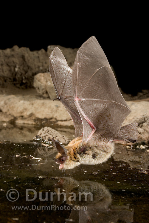 A western long-eared myotis (Myotis evotis) about to drink from a man-made guzzler. High-desert transition zone in the Deschutes National Forest, Oregon.