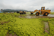 QINGDAO, CHINA - JULY 20: (CHINA OUT) <br /> <br /> Seaweed Swamps Qingdao Coastline<br /> <br /> Workers clean up green algae with bulldozers at a beach on July 20, 2015 in Qingdao, Shandong Province of China. A large quantity of non-poisonous green seaweed, enteromorpha prolifera, hit the Qingdao coast in June and July this year. <br /> ©Exclusivepix Media
