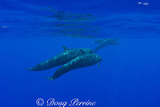 false killer whales ( Pseudorca crassidens ) Kona, Hawaii  ( Central Pacific Ocean ); whale in back is carrying a fish (Carangidae) in its mouth