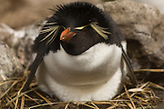 Rockhopper Penguin (Eudyptes chrysocome chrysocome)<br /> West Point Island. Off of West Falkland Island. FALKLAND ISLANDS.<br /> They return in early October to breed after their winter pelagic wandering. The males return about 10 days before the females. They nest in close-packed colonies on cliffs, often in association with Black-browed albatross and King Cormorants. They lay 2 eggs. The first egg is smaller and the chick is rarely reared to fledging. After the chicks fledge in April the colonies are once again deserted. They are the most abundant penguin species in the Falklands. They feed mostly on squid, Lobster Krill and fish.<br /> RANGE: Subantarctic Islands, Cape Horn, Ildefonso Island, Isla Morton, Isla Hornos and Southern Chile, Falkands and a few in South Georgia. Also Tristan de Cunha, Gough, St Paul and Amsterdam Islands, Prince Edward, Marion, Crozet, Kerguelen, Heard, Macquarie, Campbell, Antipodes and Auckland Islands.