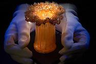 NLD, Niederlande: Octinoloba dianthus, Seenelke, dieses Glasmodell stammt aus dem Werk der naturwissenschaftlichen Glaskünstler Leopold Blaschka (1822-1895) und Sohn Rudolf Blaschka (1857-1939). Zwischen 1863 und 1890 entstanden in der Dresdner Werkstatt Tausende Glasmodelle wirbelloser Meerestiere, die ihren Weg in Museen und Universitäten der ganzen Welt fanden. Diese Nachbildungen verblüffen bis heute, denn sie sind morphologisch fehlerfrei und halten naturwissenschaftlichen Betrachtungen bis ins Detail stand - die perfekte Verschmelzung von Kunst und Naturwissenschaft. Die Blaschkas hatten keine Lehrlinge und es gibt keine weiteren Nachfahren. Vater und Sohn haben das Geheimnis ihrer einzigartigen Technik mit ins Grab genommen, Blaschka-Sammlung, Universitätsmuseum, Utrecht | NLD, Niederlande: Octinoloba dianthus, Plumrose anemone, this glass model originated from the work of the scientific glass artists Leopold Blaschka (1822-1895) and his son Rudolf Blaschka (1857-1939). Between 1863 and 1890 thousands of glass models of invertebrates sea animals developed in the workshop in Dresden, which found their way in museums and universities of the whole world. These reproductions amaze until today, because they are morphologically exact and withstand scientific examinations in detail - the perfect fusion of art and natural science. The Blaschkas didn?t have apprentices and it gives no further descendants. Father and son took the secret of their inimitable technology also in the grave, Blaschka-Collection, University Museum, Utrecht |