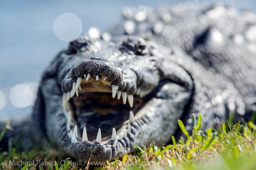 An endangered American Crocodile, Crocodylus acutus, basks near a pond in the golf course of the Ocean Reef community in Key Largo, Florida, United States.