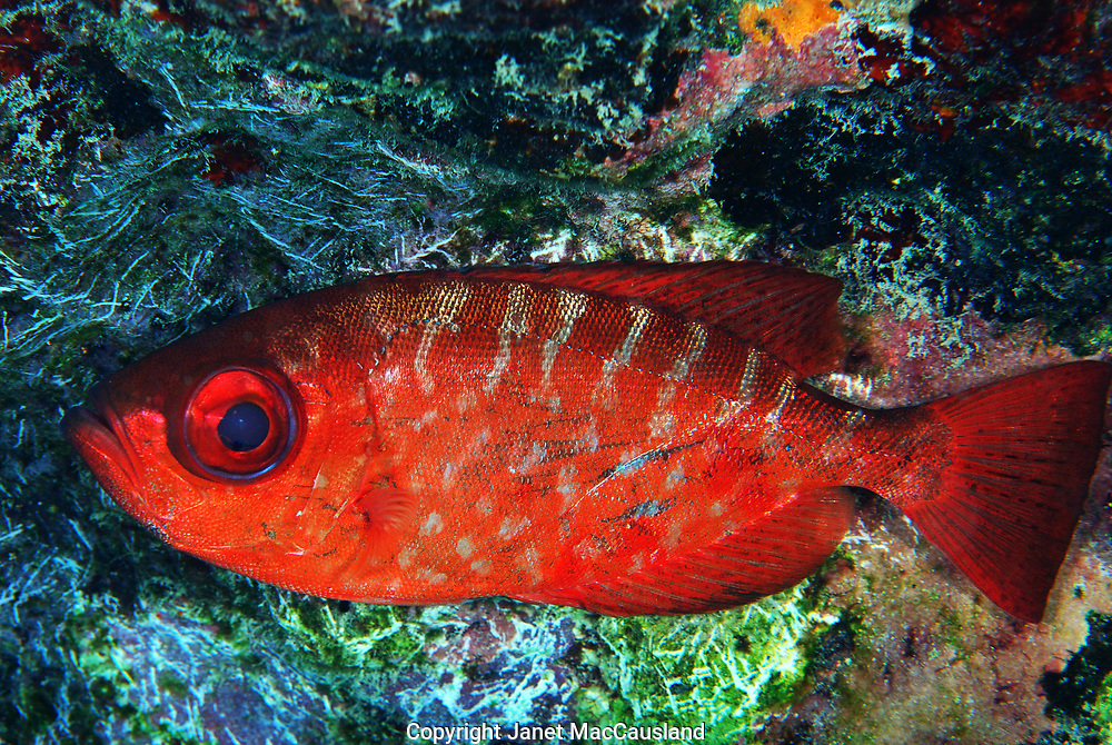 Bigeye, Glasseye Snapper (PriaCanthus cruentatus), is a nocturnal animal hiding out in the shadows of an underwater wreck.