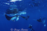 snorkelers photograph parade of four feeding manta rays, Mobula alfredi (formerly Manta alfredi) or Mobula birostris,  Bay of Wrecks, Christmas ( Kiritimati ) Island, Line Islands, Kiribati ( Central Pacific )