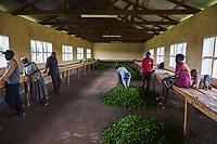 Kenya, Kericho county, Kericho, collecte du thé // Kenya, Kericho county, Kericho, tea collect