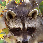 Raccoon, (Procyon lotor) Baby coon in fall colored bush. Captive Animal.