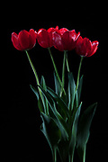 Studio photography of vibrant red tulips on black background