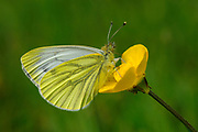 Green-veined White Butterfly (Pieris napi) resting on buttercup flower, Oxfordshire, UK.