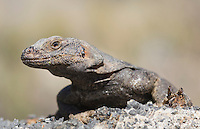 Chuckwalla, Sauromalus obesus (Sauromalus ater), near the ghost town of Leadfield, on Titus Canyon Road in Death Valley National Park, California