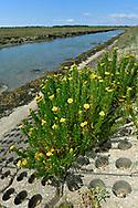 Golden-samphire - Inula crithmoides