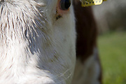 Close up of head and eyes herd of pure Hereford cattle at Boyton marshes, Suffolk, England