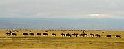 Wildebeests at the bottom of Ngorongoro Crater, Tanzania.