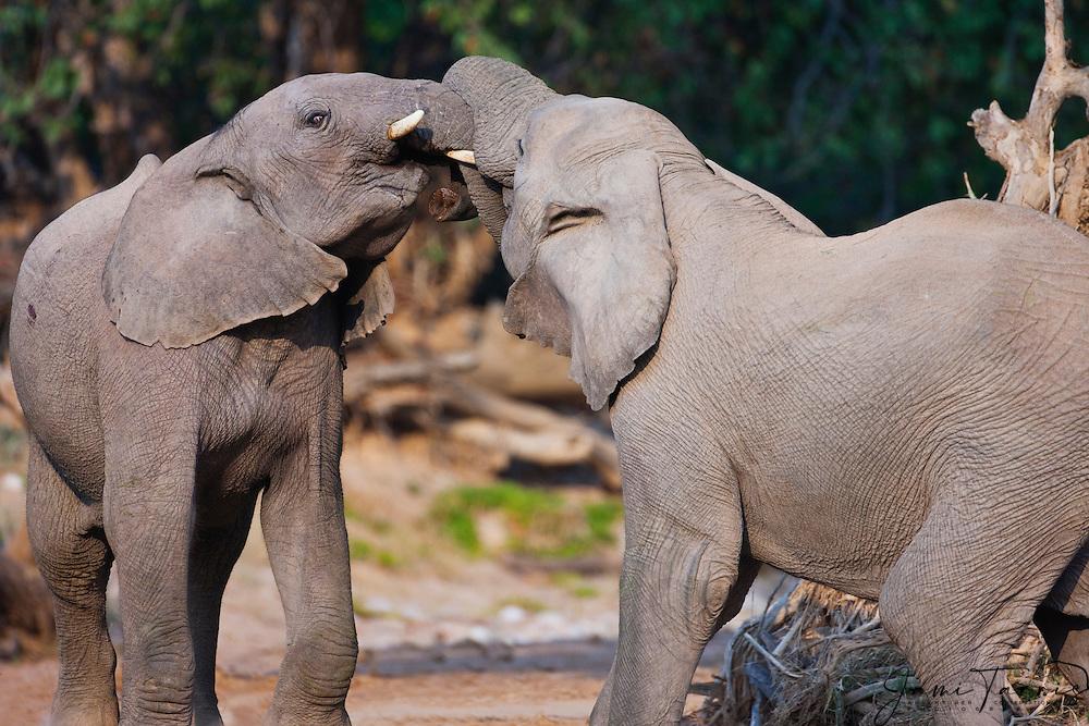 Two desert-dwelling elephants (Loxodonta africana) playing, Skeleton Coast, Namibia, Africa