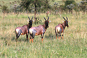 Africa, Tanzania, Serengeti National Park a herd of Topi Damaliscus korrigum Side view