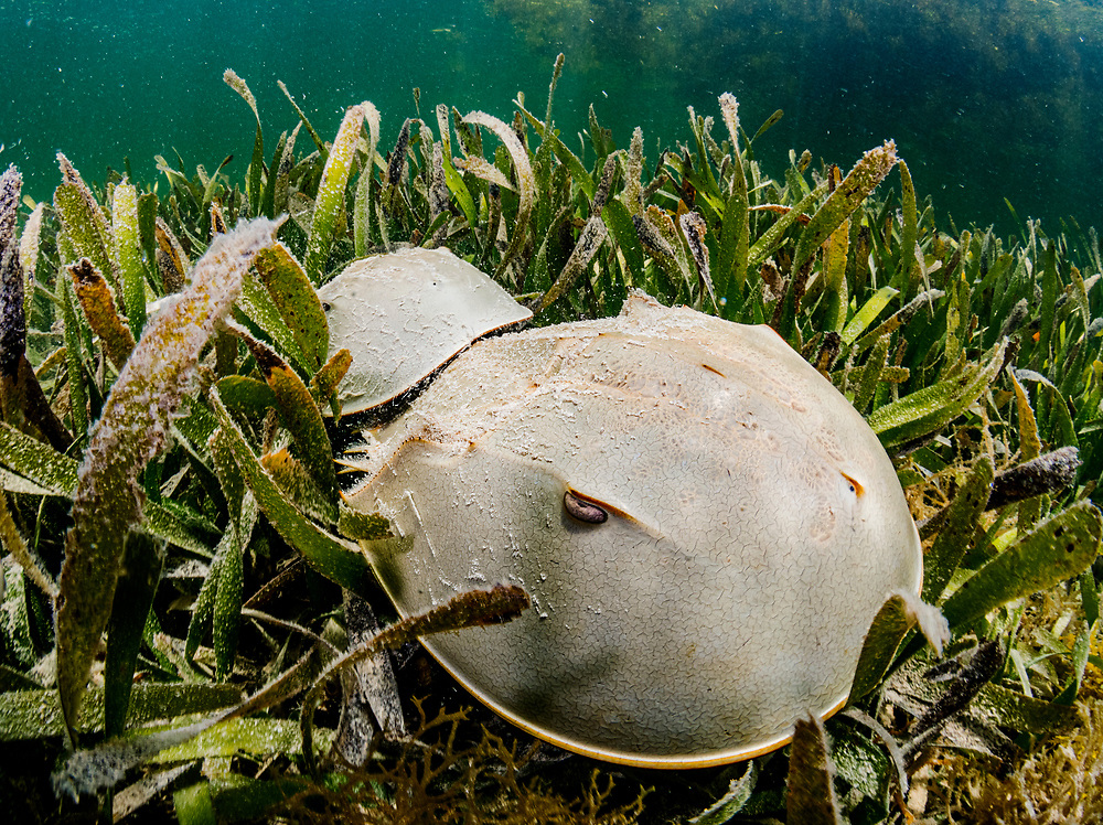 Two Horseshoe Crabs (Limulus polyphemus) mating in a seagrass (Thalassia testudinum) meadow. Florida Keys, USA