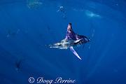 striped marlin, Kajikia audax (formerly Tetrapturus audax ) ( 17 visible in frame ), feeding on baitball of sardines, Sardinops sagax, off Baja California, Mexico ( Eastern Pacific Ocean ) (dm)