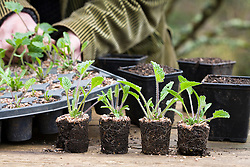 Potting on Crambe cordifolia root cuttings. Plugs ready to pot on