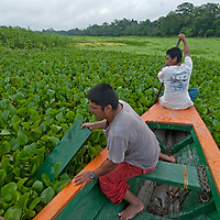 Indian guides push through water hyacinth as they navigate their tourist boat up the Yanayacu River in Peru's Amazon Jungle.