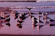 A flock of Seagulls at the oceans edge looking towards the west as the sun sets.