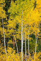 Brilliant golden aspens stand together and light up the Colorado hills.