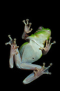 Green Tree Frog on window at night