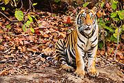 Bengal tiger (Panthera tigris tigris) in the wild sitting on rock in jungle , April, dry season;