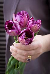 Sarah holding Tulipa 'Columbine' (Rembrandt tulip)