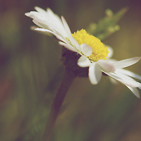 A vintage, film-like look on the classic flower of spring - the humble Daisy.