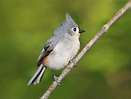 A Cute Little Bird, The Tufted Titmouse, Nicely Posing With It's Crest Raised And It's Feathers Puffed And Fluffed, Parus bicolor
