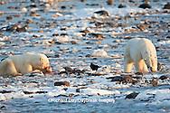 01874-11906 Polar Bears (Ursus maritimus) at seal kill, Churchill Wildlife Management Area, Churchill, MB Canada
