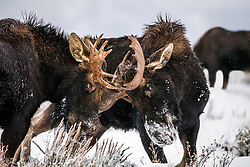 Dueling bull moose on a snowy day in Grand Teton National Park
