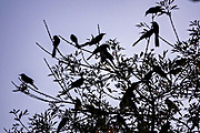 A flock of Great-Tailed Grackles are silhouetted against the twilight in the Macroplaza square in the Barrio Antiguo neighborhood of Monterrey, Nuevo Leon, Mexico. The modernist monument was designed by Mexican architect Luis Barragan and built to commemoration the100th anniversary of the Monterrey Chamber of Commerce.
