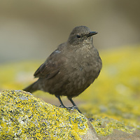 A Falkland Pipit stands on lichen-covered rocks on Carcass Island, Falkland Islands.