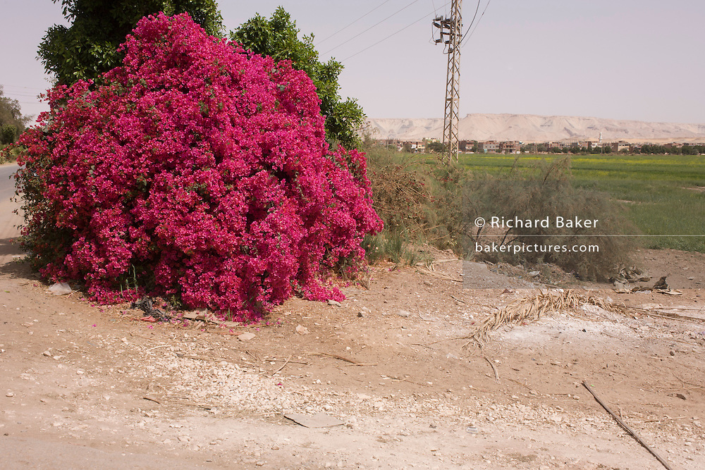 A flowering Bougainvillea bush in a wasteground landscape near Dahkla Oasis, Western Desert, Egypt.
