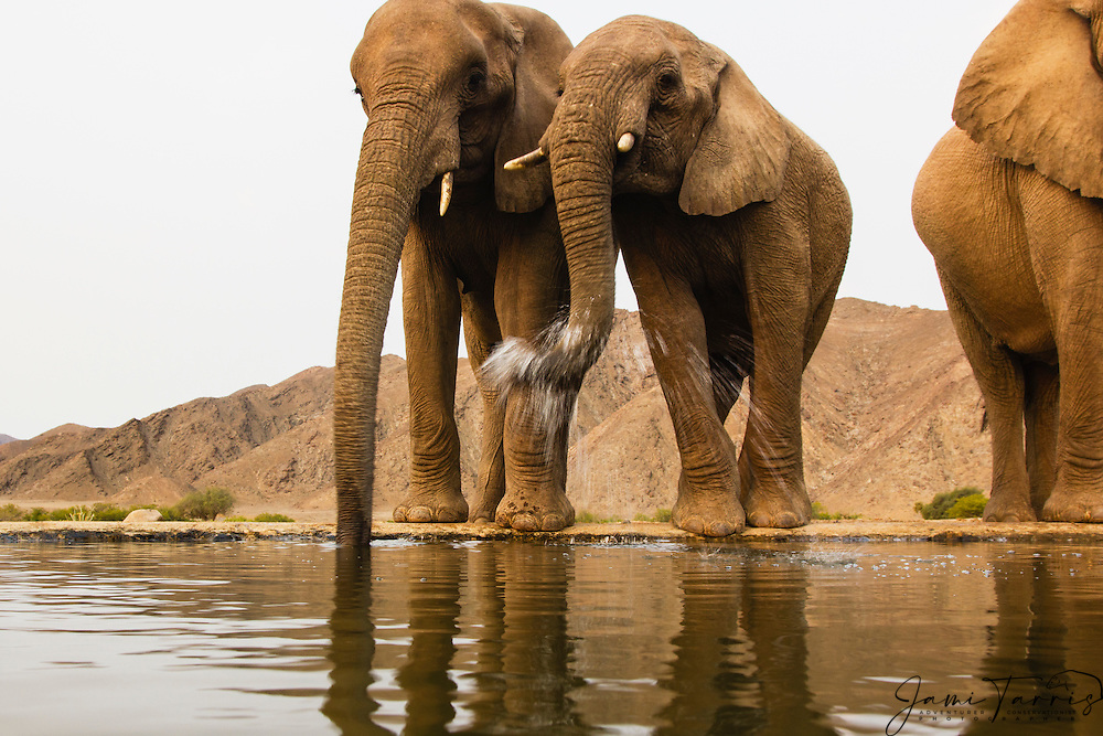 Wide angle perspective of desert-dwelling elephants (Loxodonta africana) drinking from an artificial desert water hole , Skeleton Coast, Namibia, Africa