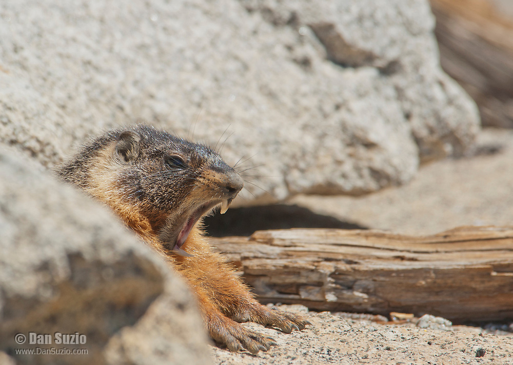 Yellow-bellied marmot, Marmota flaviventris, stretches and yawns at the entrance to its burrow. Near Silver Lake, Sierra Nevada, California