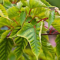 Snake bark maple (Acer davidii)