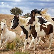 Free-roaming horses in Placitas, New Mexico