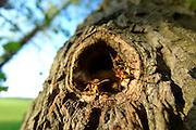 brown hornet or European hornet (Vespa crabro) (dt. Hornisse)