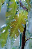 Rime ice on new growth Gambel oak leaf, Jemez Mountains, NM, © David A. Ponton