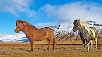 Pair of Friendly Icelandic Horses Near the End of Winter. Image taken with a Nikon Df camera and 24 mm f/1.4G lens (ISO 100, 24 mm, f/5.6, 1/800 sec)