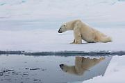 A polar bear (Ursus maritimus) walking on sea ice reflected in the water, Spitsbergen, Svalbard, Norway