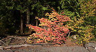 A Vine Maple (Acer circinatum) along the beach at Green Point Day Use Area in Sasquatch Provincial Park.