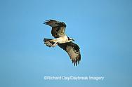 00783-010.14 Osprey (Pandion haliaetus) female in flight    FL