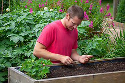 Sowing dwarf French Beans - Phaseolus vulgaris - into a raised bed