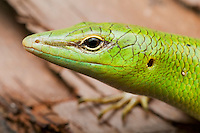 Emerald tree skink, Lamprolepis cf smaragdina, from the Baucau district of Timor-Leste (East Timor).  While similar to L. smaragdina on other islands, individuals from East Timor are different in significant ways and will probably be assigned to a new species after further study.