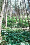 Dense Alpine Forest Photographed near Itter, Tirol, Austria