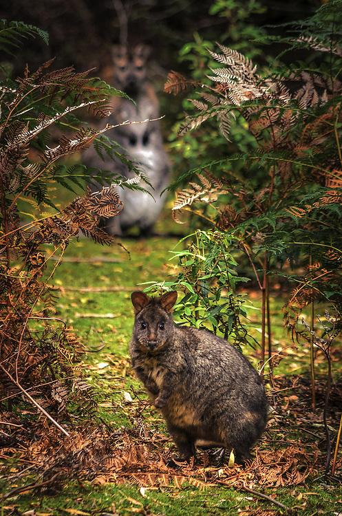 Pademelon at Maria Island, Tasmania